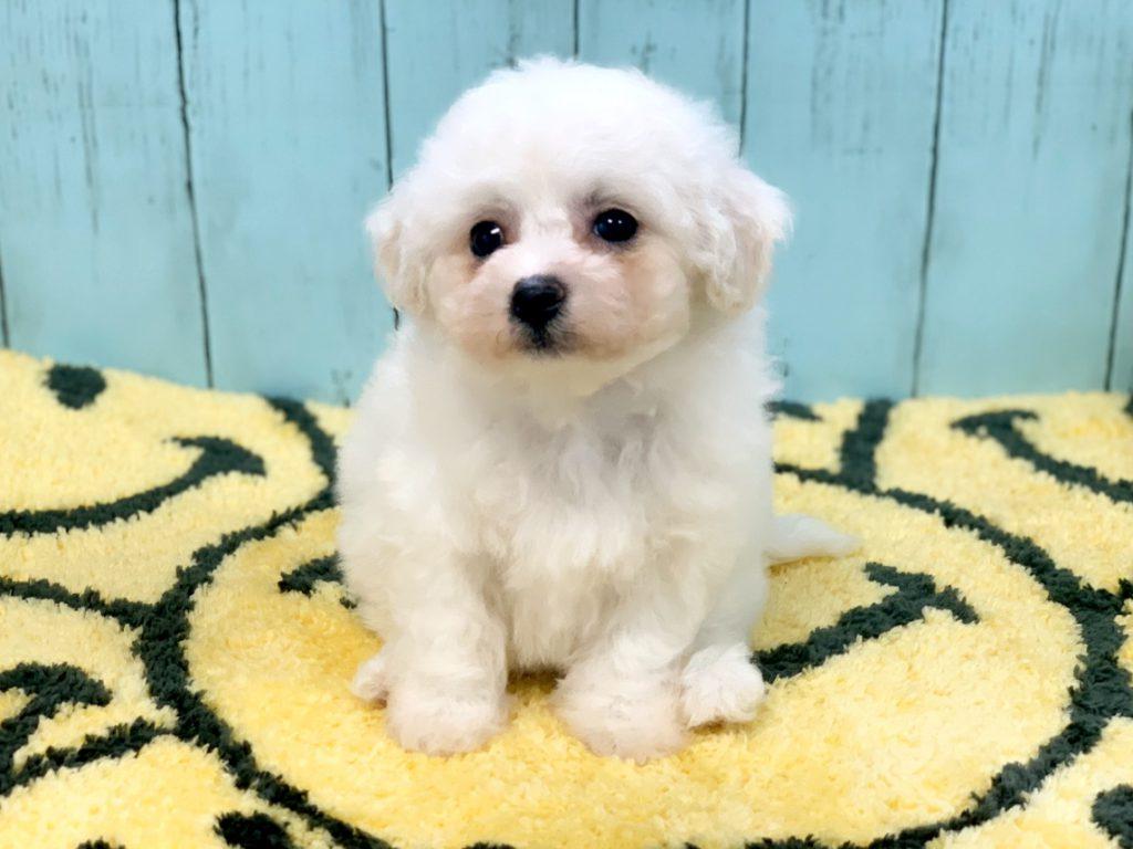 可愛いビションフリーゼの子犬