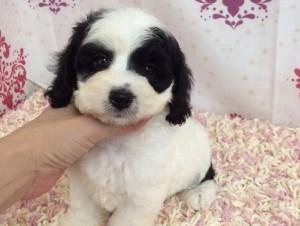 コッカプー子犬ブラック&ホワイト