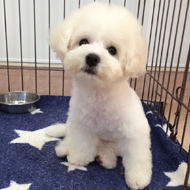可愛いビションフリーゼの子犬。