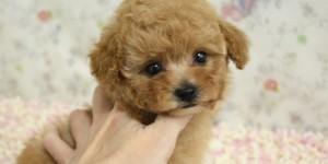トイプードルアプリコットの子犬の横姿