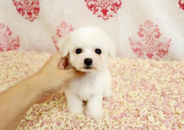 ビションフリーゼ子犬