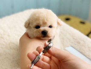 ピショプー子犬
