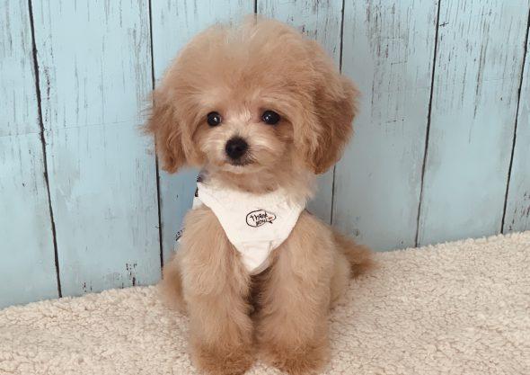 ビションプー子犬