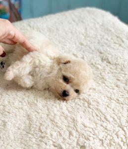ビショプー子犬
