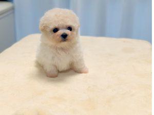 ビジョンプー子犬