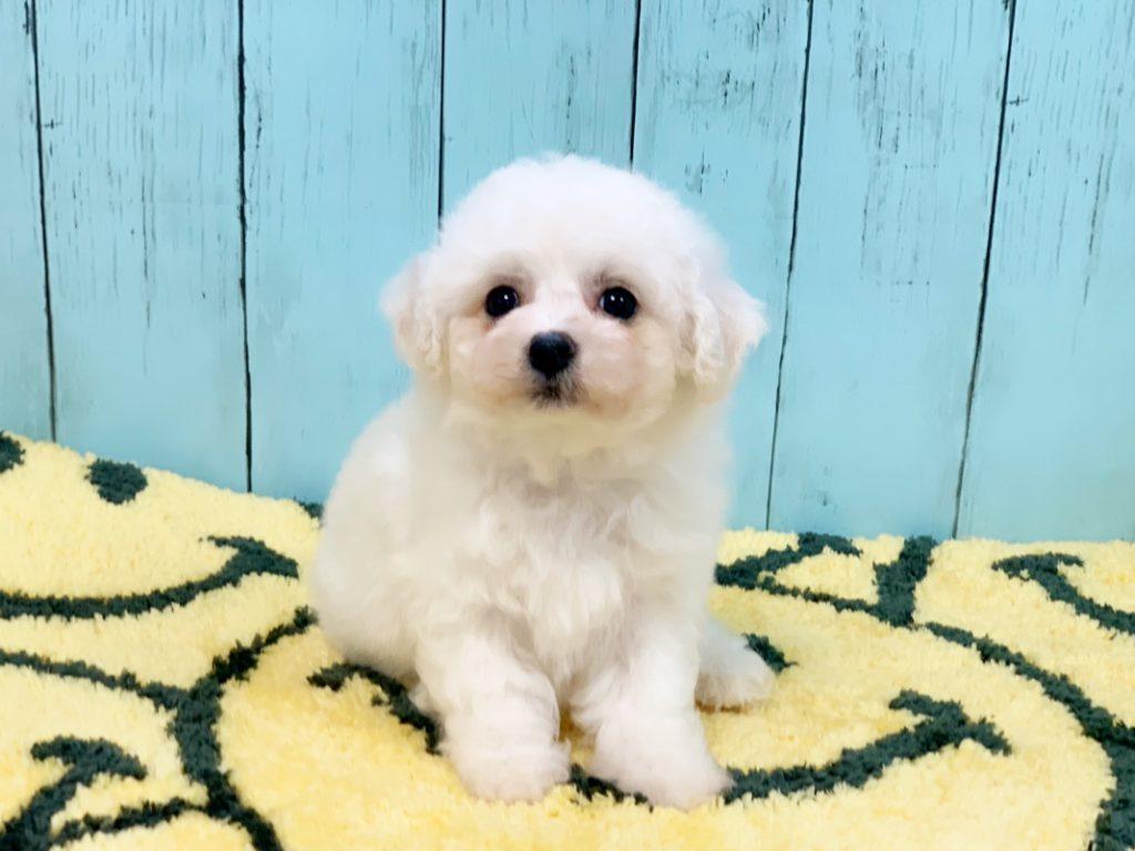ビションフリーゼの子犬
